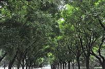 街道旁的两排树