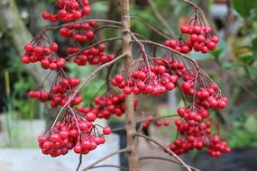 累累的红果子