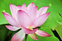 盛开的粉莲花