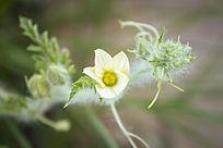 西瓜的一朵黄色小花