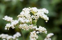 一簇白色的小花朵