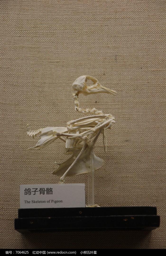 鸽子骨骼图片,高清大图