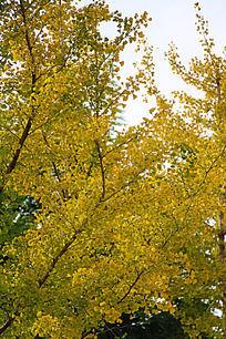 金黄的银杏叶子