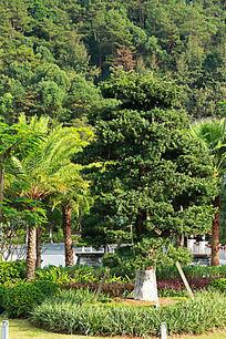 罗汉松 棕树