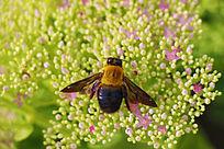 鲜花上的大蜜蜂