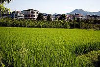 别墅前稻田