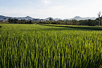 稻田风景图