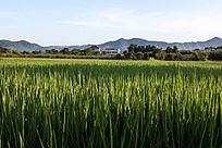 江南的稻田风景