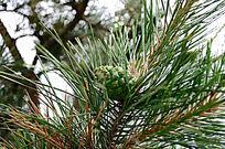 绿色小松子
