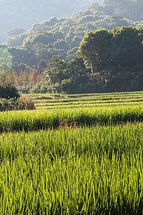 清晨的稻田