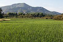 山脚下的稻田