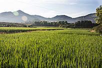 山前的稻田