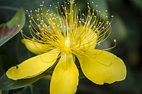 一朵金色的金丝桃