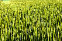 早上的稻田背景图