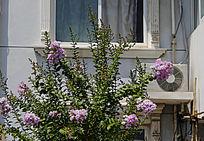 窗前紫薇花开