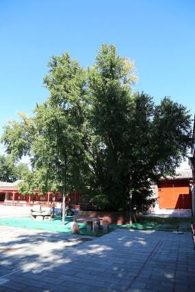 大觉寺古银杏树