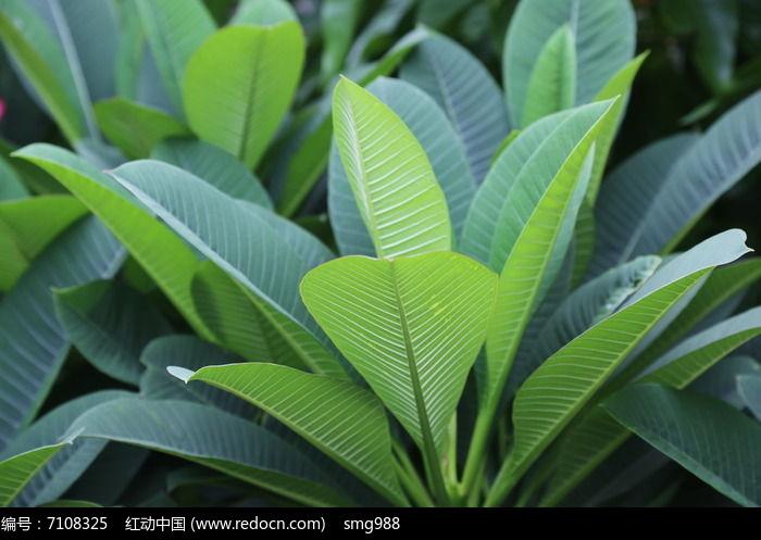 原创摄影图 动物植物 花卉花草 木棉树叶子  请您分享: 素材描述:红动