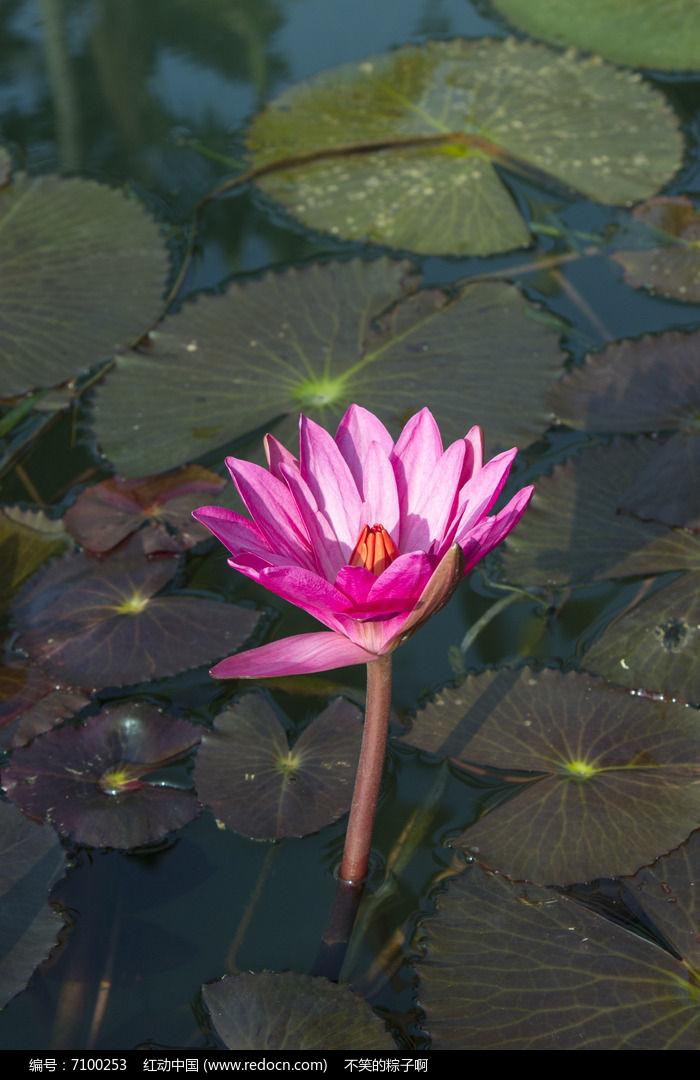 水中的莲花