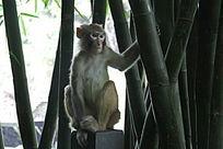 竹林蹲坐猴子