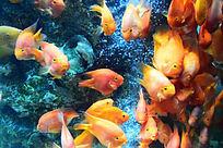 一大群红色小鱼