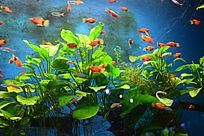 游在海草间的红色海鱼
