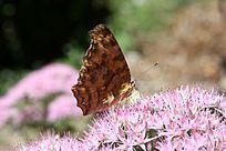 草蝴蝶的翅膀