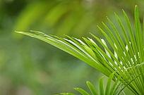 长条状叶子