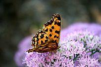 凤蝶的翅膀