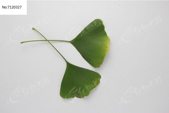 原创摄影图 动物植物 树木枝叶 两片银杏树叶子