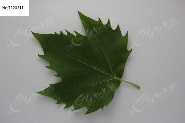 绿色梧桐树叶子图片