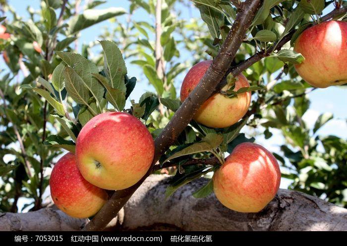 原创摄影图 动物植物 农作物 漂亮的苹果