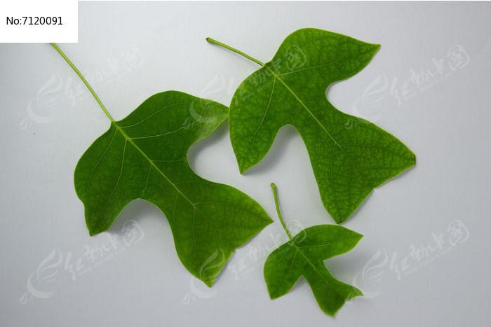 原创摄影图 动物植物 树木枝叶 人型树叶素材  请您分享: 红动网提供