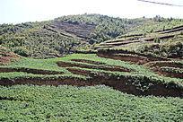 栽土豆的一片山地