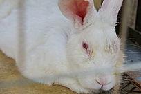 白色小兔子