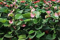 粉红的红掌花