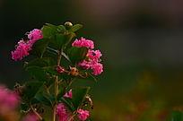 粉色小花特写图片