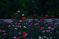 玫瑰花花卉世界图片
