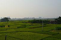 水稻庄稼自然风景图片