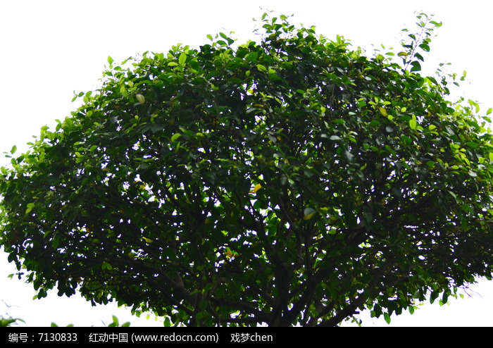 榕树叶子风景图片