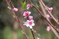 鲜艳的一枝桃花