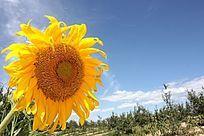 阳光下向日葵