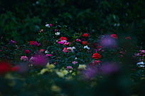 月季花花花世界风景图片