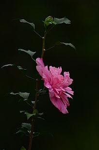 粉红的鲜花