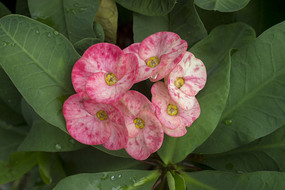 粉色虎刺梅