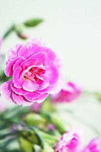 粉色香石竹
