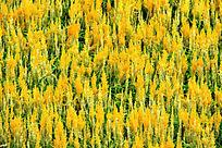 黄色羽状鸡冠花