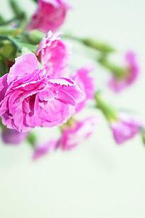 玫红色香石竹