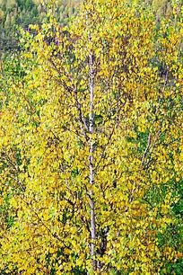 白桦树黄叶