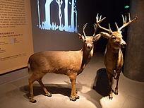 两只白尾鹿