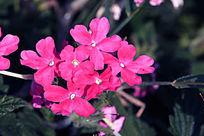 玫红色美女樱花